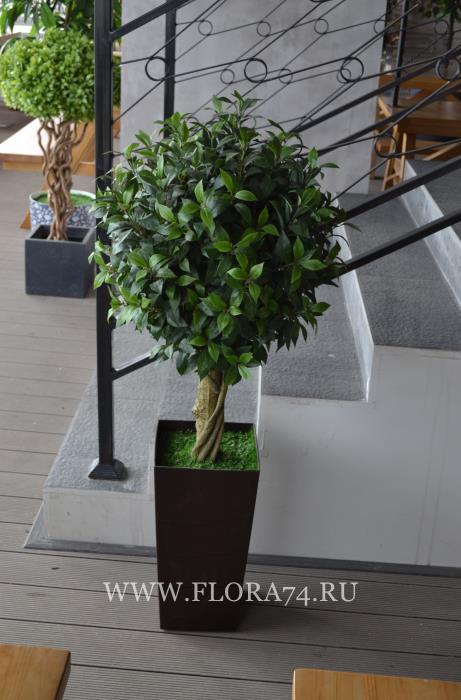 Декоративное дерево лавр.